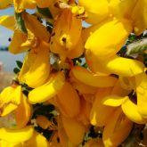 Scotch brooms flowers