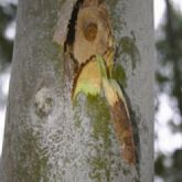 Bulls-eye borer damage to a rose gum stem