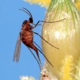 Orange mosquito-like fly with rounded body