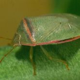 Green shield-shaped bug with red edges
