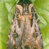 Dark caterpillars curling up when disturbed