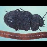 Black beetle and worm-like brown beetle larva