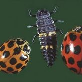 Two spotted red-and-black ladybird beetles and an elongated ladybird larva.