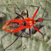 Red assassin bug adult