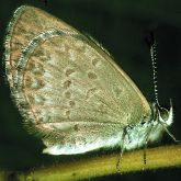 Butterfly with blue underside