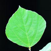 Kudzu leaf
