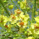 Parkinsonia flowers