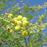 Prickly acacia flowers close-up