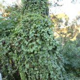 Madeira vine smothering native vegetation