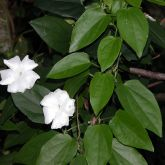 White thunbergia flowers and leaves