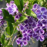 Duranta flowers and leaves