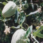 White moth vine fruit