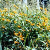 Japanese sunflower plant