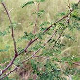 Mimosa bush stem, spike and leaves
