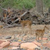 Feral chital deer with young