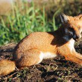 Fox lying down