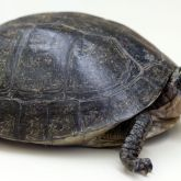 South East Asian box turtle