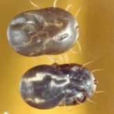 Two engorged adult female cattle ticks