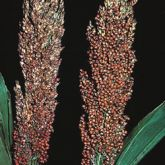 Sorghum heads containing damaged and undamaged grain