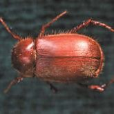 Uniformly brown beetle