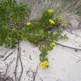 Bitou bush in coastal dunes