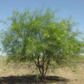 Parkinsonia plant form
