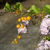 Duranta flowers and fruit