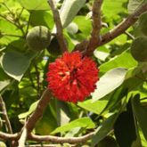 Paper mulberry flowers