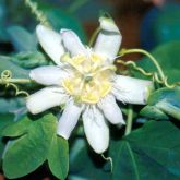 White passion fruit flower