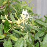 Japanese honeysuckle flower