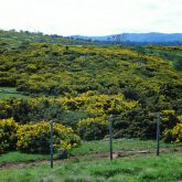 Large Gorse infestation