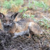 Fox in mud