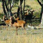 Feral red deer group in bushland