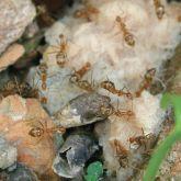 Yellow crazy ants feeding