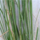 American rat's tail grass leaves
