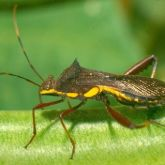 Brown elongated bug with yellow markings along its sides