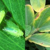 Lucerne leafhopper and leaves showing yellowing and browning known as 'hopper burn'