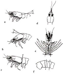 Diagram showing how to kill and preserve a prawn for submitting for lab analysis