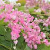 Coral vine is an attractant to Asian honey bees