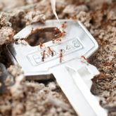 Fire ants with key to show size