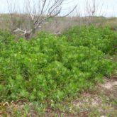 Bitou bush infestation