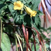 Yellowbells flower, leaf and pods
