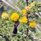 Mimosa bush flowers and pod