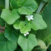Ivy gourd leaves and flower