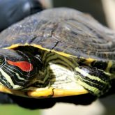 Red-eared slider close-up