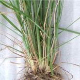 American rat's tail grass roots