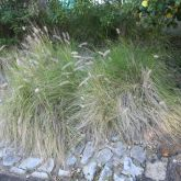 African fountain grass plant form
