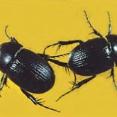 Shiny black beetles with lengthwise ridging along their wing cases
