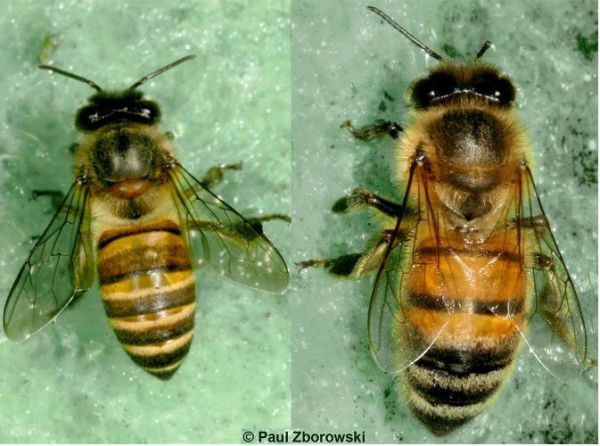 Comparison of Asian (left) and European (right) honey bees