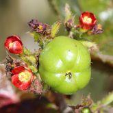 Bellyache bush in flower and fruit